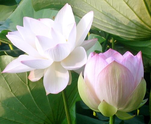 lotus_10_3510371837_d4ee720852